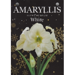 White Amaryllis Bulb Set