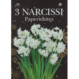 Narcissi Paper White 3 Bulbs